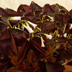В вечернее время листья кислицы похожи на присевших бабочек