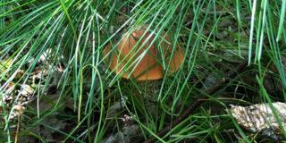Кедрово-тисовая роща