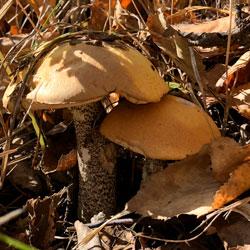 Подосиновики последний слой грибов