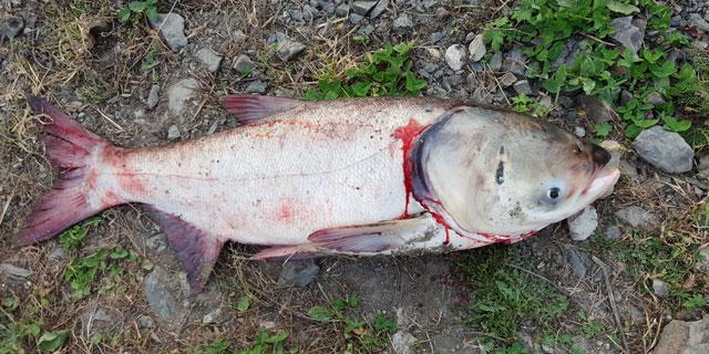 Рыбы Амура - Толстолоб