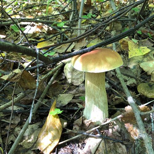 Белый гриб Хабаровского края