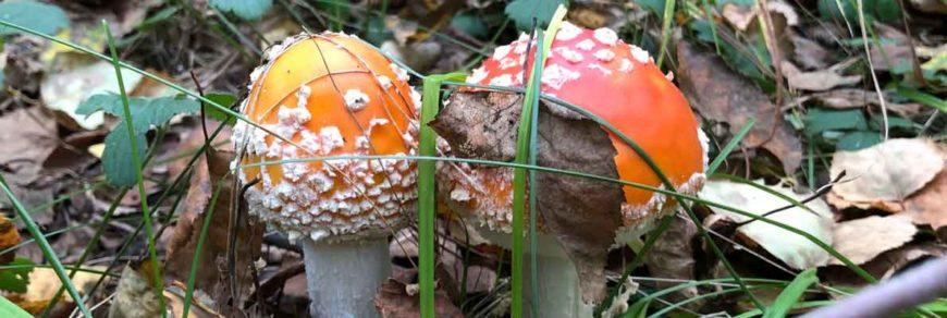 Мухомор красный - гриб красивый и опасный