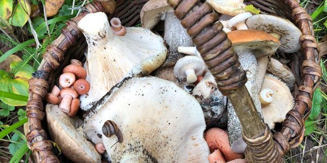 По грибы с удачей ходят