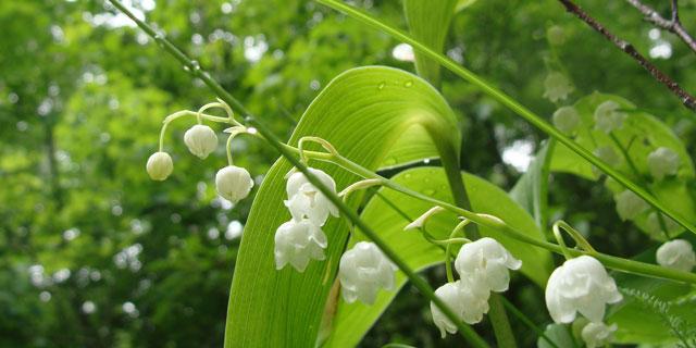 Ядовитые растения Дальнего Востока