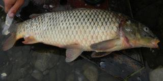 Сазан амурский — мечта рыбацкая