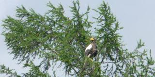 Белоплечий орлан Дальнего Востока России