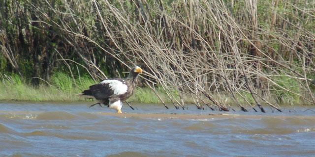 Белоплечий орлан ловит рыбу