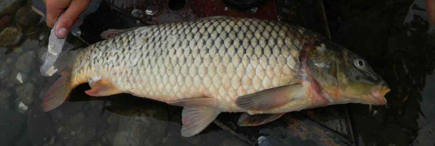 Сазан амурский - мечта амурского рыбака