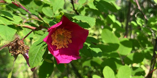 Цветение шиповника
