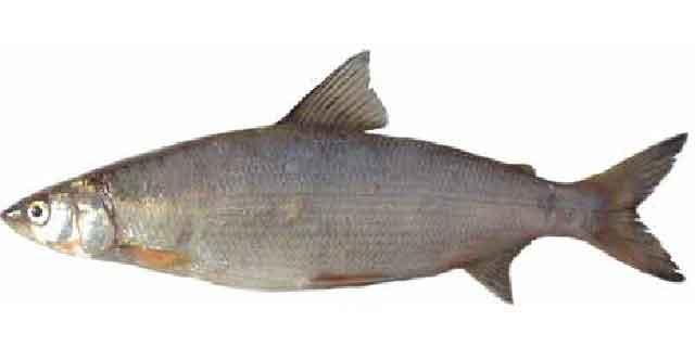 Сиг-хадары (Список рыб Амура)