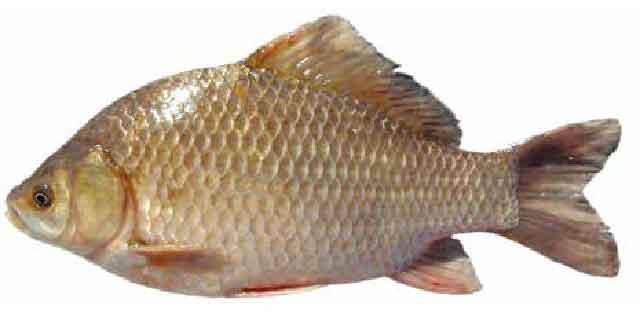 Список рыб Амура: Карась китайский (Карповые)