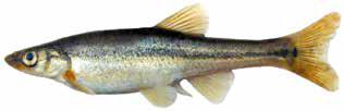 Список рыб Амура: Гольян Лаговского (карповые)