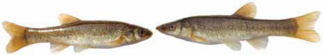 Список рыб Амура: гольян китайский (карповые)