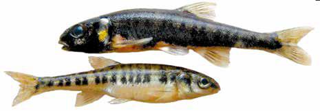 Список рыб Амура: гольян обыкновенный амурский