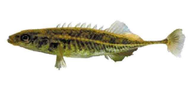 Колюшка Каибары (список рыб Амура)
