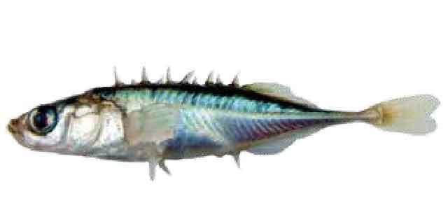 Колюшка девятииглая (список рыб Амура)