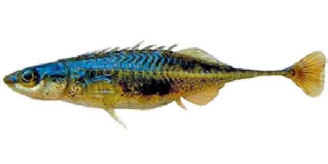 Обыкновенная амурская колюшка