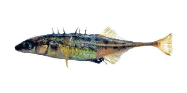 Колюшка китайская (список рыб Амура)