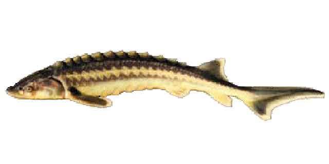 Список рыб Амура: осетр русский