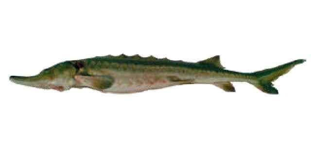 Список рыб Амура: сахалинский осетр