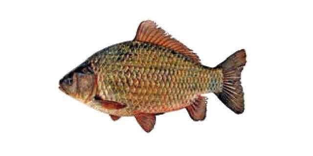 Список рыб р. Амур: Карась китайский (Карповые)