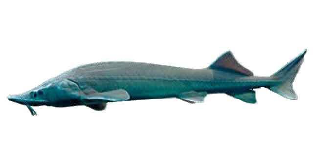 Список рыб Амура: осетр сибирский