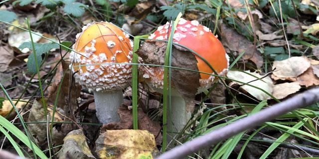 Мухомор (Силинский лес)