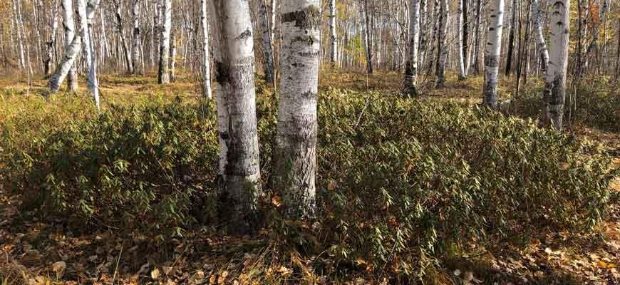 Багульник болотный. Силинский лес