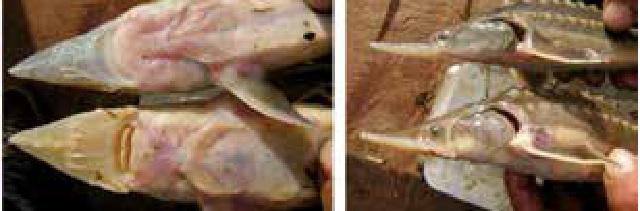 Чем отличается амурский осетр от калуги