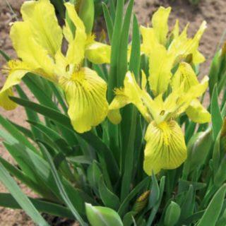 Касатик низкий (Iris humilis Georgi)