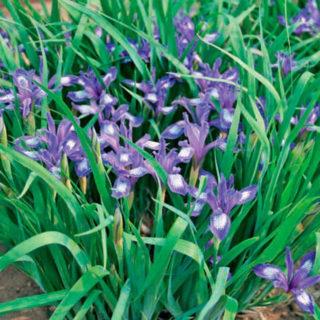 Касатик одноцветковый (Iris uniflora Pall.)