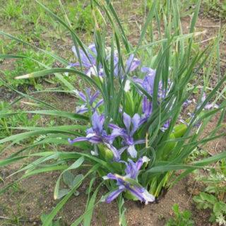 Касатик вздутый (Iris ventricosa)