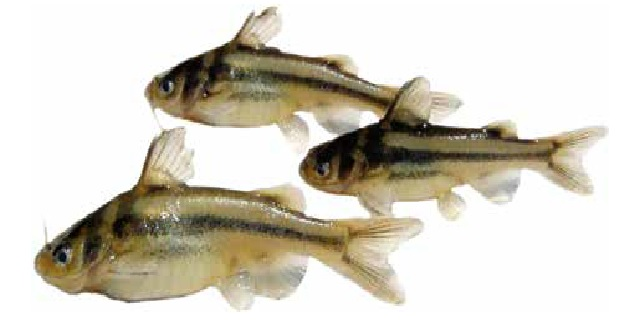 Косатка-крошка (Список рыб Амура)