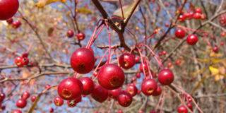 Яблоня сибирская дикорастущая