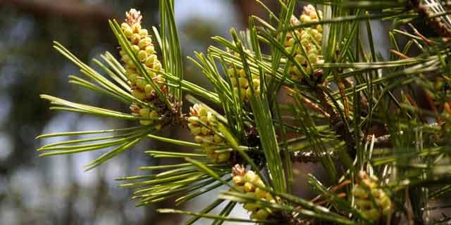 Сосна густоцветковая (Р. densiflora Siebold etZucc.)