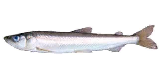 Список рыб Амура: Корюшка азиатская зубатая