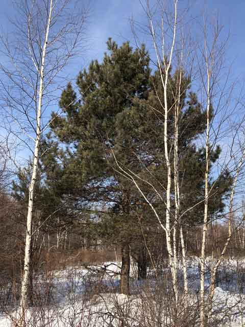 Сосна обыкновенная (Р. sylvestris L.)
