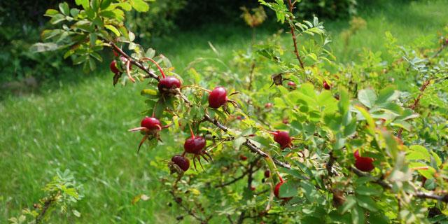 Шиповник тонконожковый (Rosa gracilipes Chrshan.)