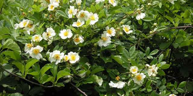 Шиповник Максимовича (Rosa maximowicziana Regel)