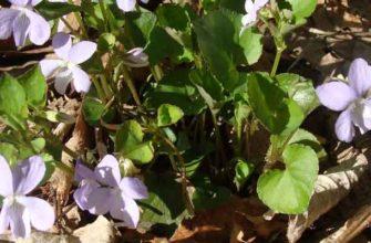 Фиалка сахалинская (Viola sacchalinensis)