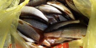 Хариус — рыба моей мечты