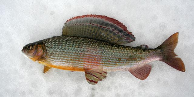 Хариус нижнеамурский (Thymallus tugarinae (Knizhin, Antonov, Safronov et Weiss, 2007))