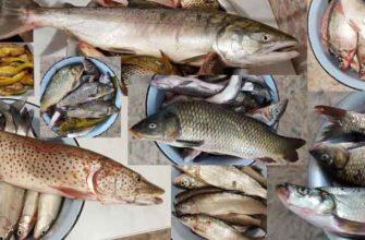 Из амурской рыбы можно приготовить все