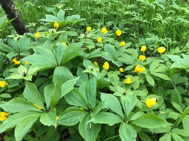 Лесной мак весенний (Hylomecon vernalis Maxim.)