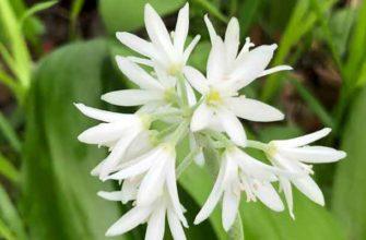 Клинтония удская (Clintonia udensis (Trautv. et C.A. Mey., 1856))