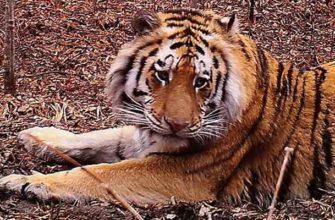 Амурский тигр в Хабаровском крае