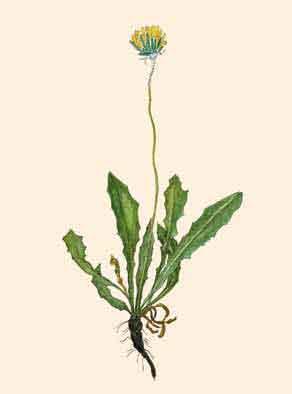 Одуванчик воротничковый (Taraxacum collariatum Worosch.)