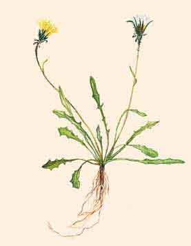 Одуванчик охотский (Taraxacum ochotense Worosch.)