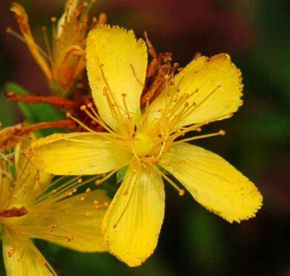 Зверобой оттянутый (Hypericum attenuatum Choisy)