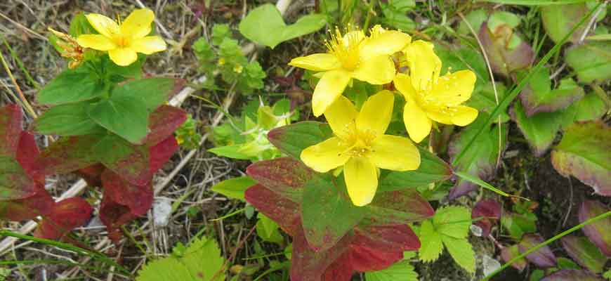 Зверобой камчатский (HypericumkamtschaticumLedeb.)